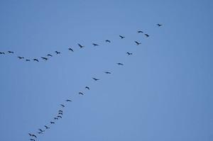 800pxgreat_cormorant_flock_2