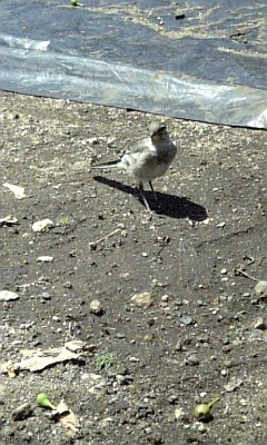 蝉の幼虫VS<br />  野鳥