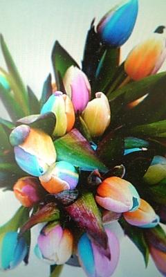 虹色のチューリップ。